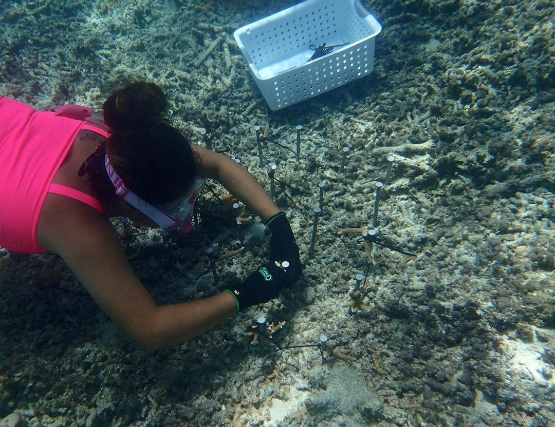 Volunteer Joyce Merino ties staghorn coral fragments to stakes. Photo credit: Nicole Burns.